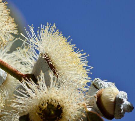 myrtales: Eucalyptus flower in full splendor with blue sky background