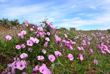 splendor: Meadow of beautiful wildflowers in full splendor, morning glory
