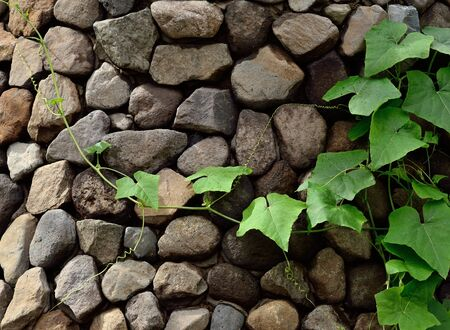 cladding: Climbing plant on wall with stone cladding Stock Photo