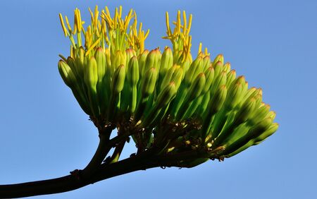 Cluster with floral buds of agave that begin to bloom Stock Photo