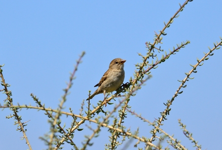 Young bird perched on bush branches, spanish sparrow Stock Photo