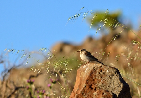 Small bird on stone among oats in the prairie Stock Photo