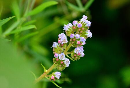 Small twig with beautiful wildflowers, echium of Canary islands