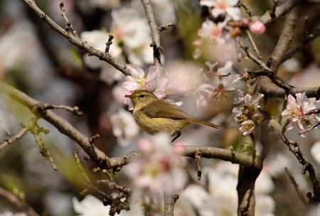 Small bird phylloscopus amidst almond tree in full bloom Stock Photo