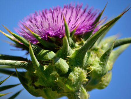Milk thistle in bloom with two green bugs in mating
