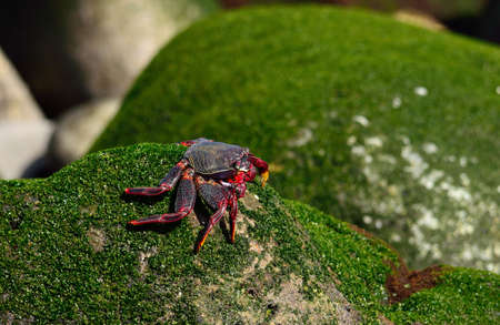Red crab on a rock with green algae