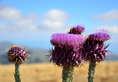 Thistle flowers in foreground, Onopordum carduelium, Canary islands