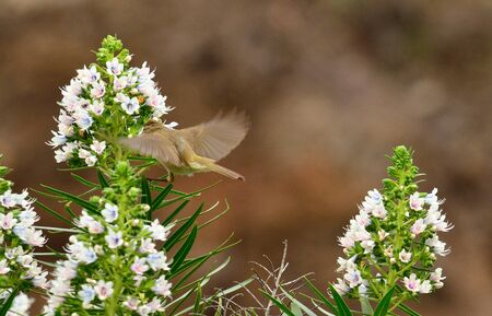 Flying bird next to the clusters of echium flowers, phylloscopus canariensis, Canary islands Stock Photo