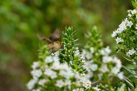 Bird flapping its wings in flight and eating on flowers echium, phylloscopus canariensis