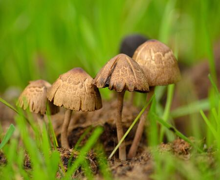 Group of small mushrooms starting to dry