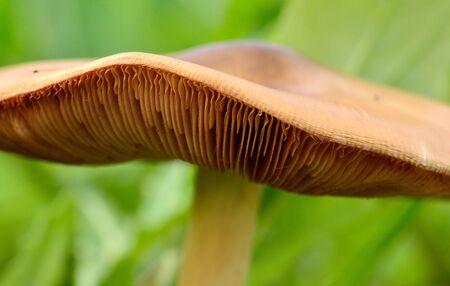 Detail closeup of inner sheets of the mushroom hat Stok Fotoğraf