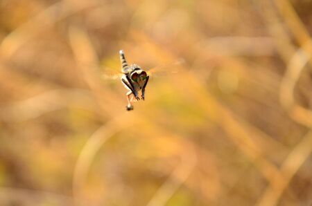 Great robber fly in static flight in the courtship season