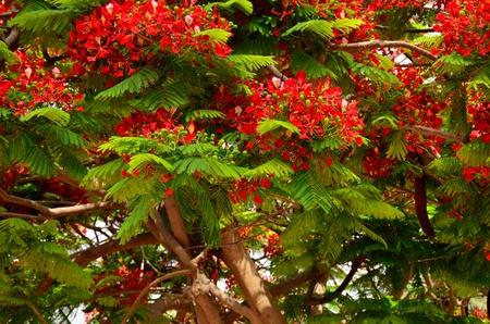 Splendid tree in full bloom, flamboyan, delonix regia