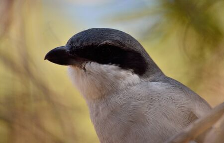 Closeup of beautiful young gray shrike looking attentively Stock Photo