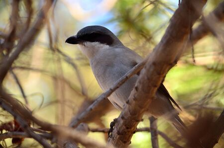 Young gray shrike perched on branch amidst the  bush Stock Photo