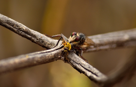 asilidae: Robber fly perched on branch with small bee under its stinger Stock Photo