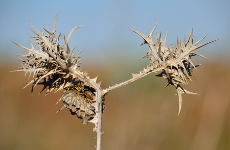 Dry wild thistle in foreground with nest of wasps inside