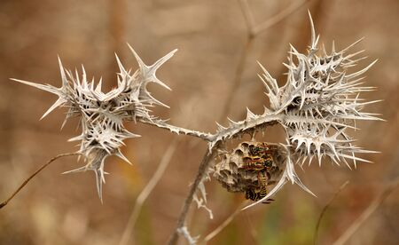 Nest of wasps hanging between the thorns of dry wild thistle Stock Photo