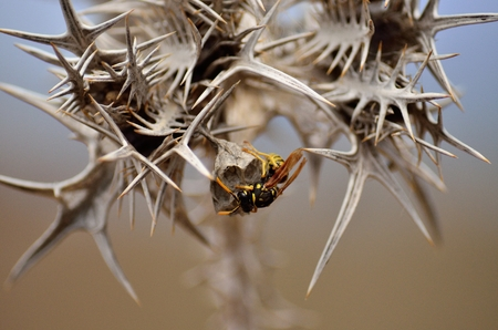 Thorns of wild thistle and nest of wasps inside Banco de Imagens