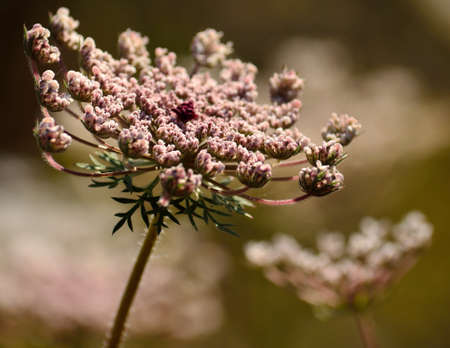 Изолированные цветок дикой моркови на переднем плане Фото со стока