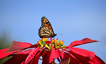 Monarch butterfly on colorful poinsettia with blue sky background Stock Photo