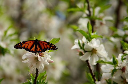 Monarch butterfly on almond tree with flowers in full splendor Stock Photo