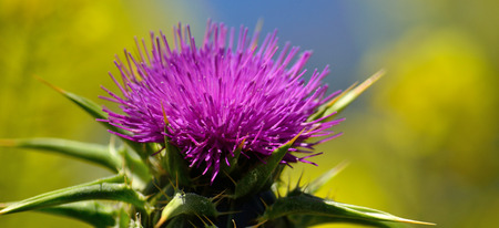 Beautiful milk thistle flower with blue and yellow background, Silybum marianum Banco de Imagens