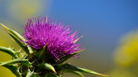 Colorful flower of milk thistle in foreground with blue and yellow background 版權商用圖片