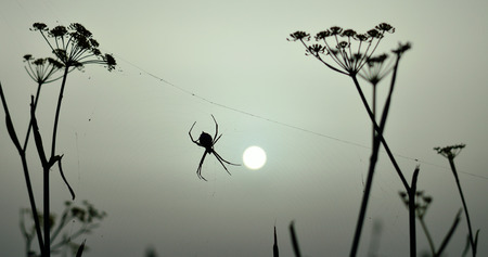 Backlit argiope spider at sunrise, on the cobweb amidst the plants