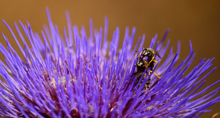 Three wasps in simultaneous mating inside a wild artichoke flower