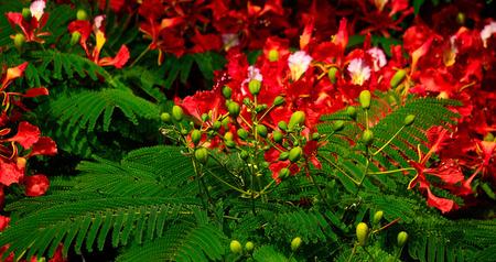 Green floral buds of Flamboyan tree in full flowering, Delonix regia Stock Photo