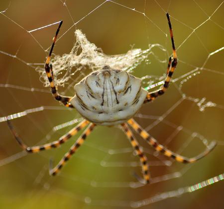 Closeup of large spider on the cobweb, Argiope lobata Stock Photo