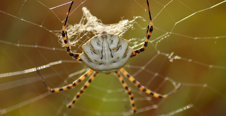 Argiope lobata in foreground, large spider on the cobweb Stock Photo