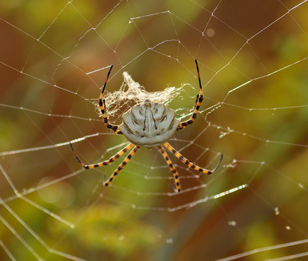 Argiope lobata on the cobweb, large spider waiting patiently Stock Photo