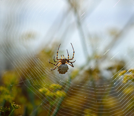 Argiope lobata, large spider walking and repairing the magnificent cobweb Stock Photo
