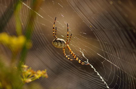 Side view of large spider on the magnificent cobweb, Argiope lobata