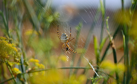 Argiope lobata, large spider on the cobweb with a small prey between its legs