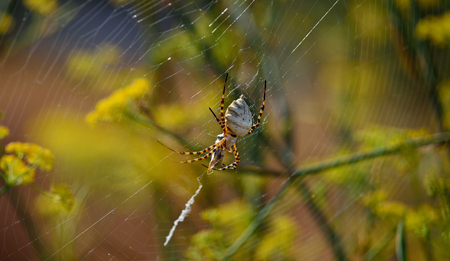 Large spider with a small wasp captured between its legs, Argiope lobata
