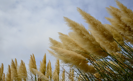 Bunches of beautiful flowers in the shape of dusters, pampas grass Stock Photo