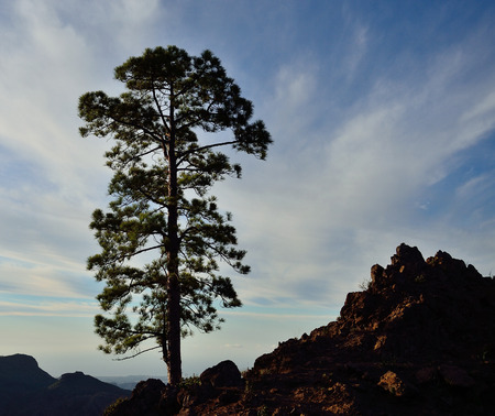 Lonely pine, natural park of Pilancones, Gran Canaria, Canary islands