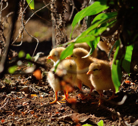 Group of little chicks hidden among the plants Stock Photo