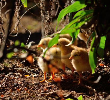 Group of little chicks hidden among the plants Imagens