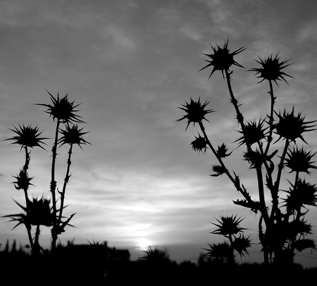 Silhouettes of thistle flowers during the dawn, black and white mode Stock Photo