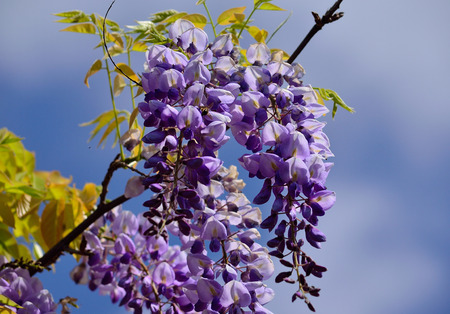 Branch with beautiful clusters of flowers and sky background, Wisteria