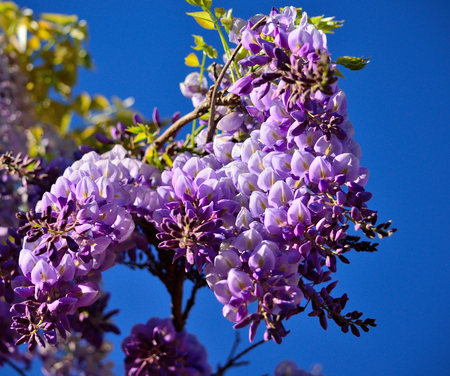 Branch with beautiful flowers in foreground and intense blue sky background, Wisteria