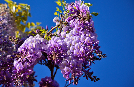 Branch with beautiful flowers in foreground and vivid blue sky background, Wisteria