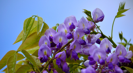 Pink and purple flowers of Wisteria, green leaves and sky background Imagens