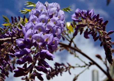 Cluster with beautiful purple flowers in foreground and blurred background, Wisteria