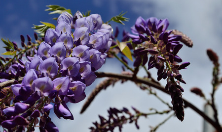 Splendid clusters with purple flowers in foreground and blurred background, Wisteria