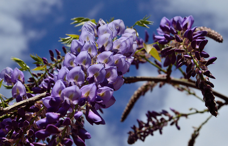 Wisteria with splendid clusters and beautiful purple flowers in foreground Imagens